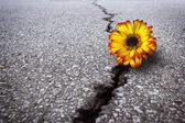 Flower in asphalt — Stock Photo