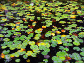 Water Lily Lake — Stock Photo