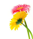 Gerber Flowers — Stock Photo