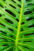Monstera leaf — Stock Photo