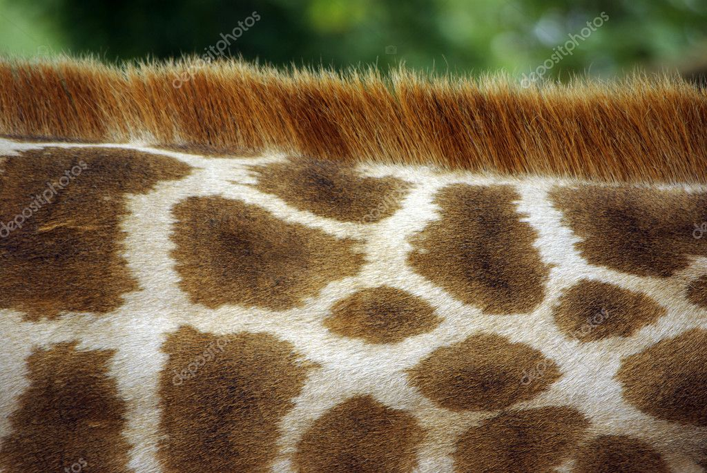 Close-up detail of the pattern of a giraffe's neck. — Stock Photo #5874214
