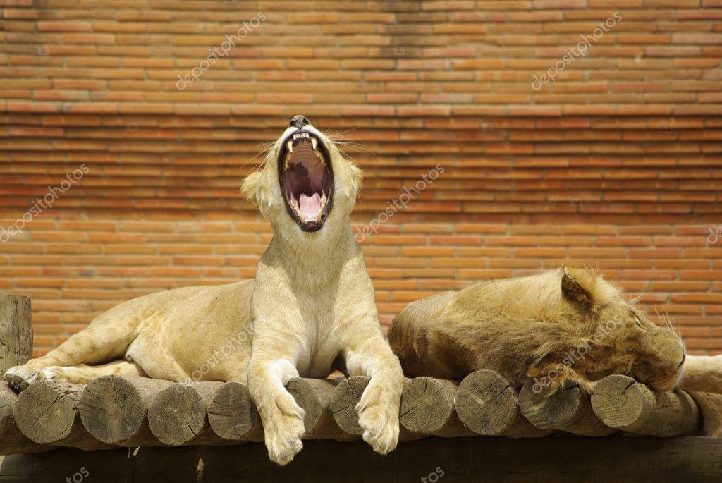 doll28  sleepingdurmiendo  Lions couple lioness lion