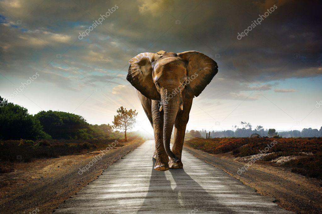 Фотообои Один Гуляет Слон