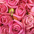 Bed of roses - Stock Photo