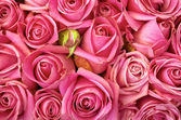 Bed of roses — Stockfoto