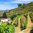 Vineyard Landscape - Stock Photo