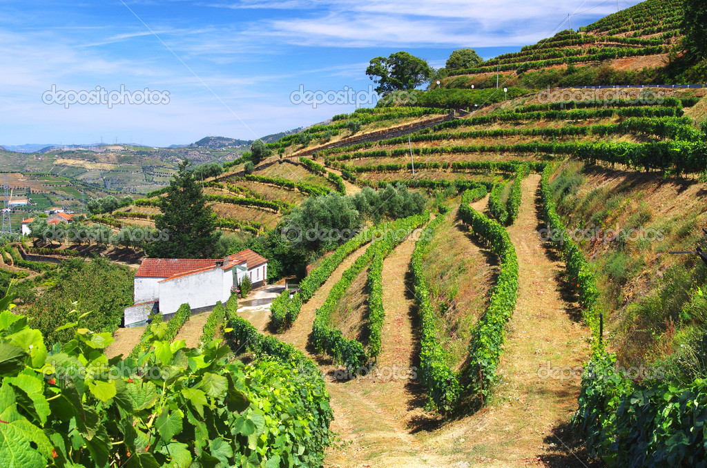 Beautiful rural landscape with bright green vine cultures in the Douro region, Portugal  Stock Photo #6380481