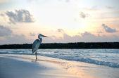 Czapla na plaży — Zdjęcie stockowe
