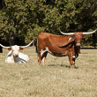 Longhorn Cows in a Field — Stock Photo #5913775