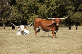 Longhorn Cows in a Field — Stock Photo