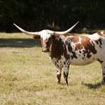 Texas Longhorn Cow in Meadow — Stock Photo #5982784