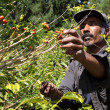 Stock Photo: Coffee farmer picking ripe beans