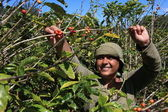 Vrouw plukken koffie bonen in de zon — Stockfoto