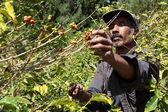 Boer plukken rijp koffiebonen — Stockfoto
