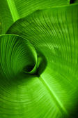Banana Leaf Curl — Stock Photo