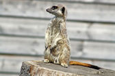 Male Meerkat looking left — Stock Photo