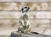 Meerkat looking right — Stock Photo