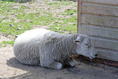 Sheep laying down — Stock Photo
