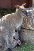 Mother and baby wallaby — Stock Photo