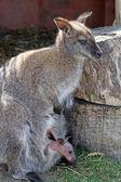 Mãe e bebê canguru — Fotografia Stock
