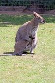 Stunning wallaby — Stock Photo