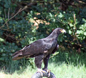 Stunning Bird of prey — Stock Photo