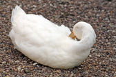 Large white duck — Stock Photo