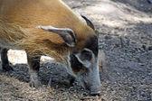 Wild hog — Stock Photo