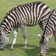 Stock Photo: Stunning zebra