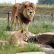 Female and Male lion — Stock Photo