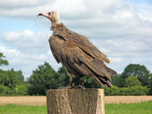 Vulture bird of prey — Stock Photo