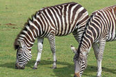 Stunning zebra — Stock Photo