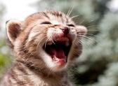 饿虎小猫哭了 — 图库照片