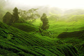 Tea Gardens — Stock Photo