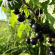 Stock Photo: Black currant on branch