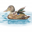 Royalty-Free Stock Vector Image: Duck on the water