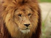 Retrato de leão — Fotografia Stock