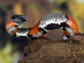 Coral snake — Stock Photo