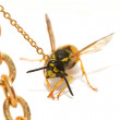 Bound wasp - Stock Photo
