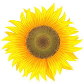 Sunflower on a white background — Stock Photo