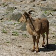 Goat among the rocks — Stock Photo