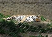 Tiger sleeping in a cage — Stock Photo