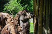 Camel at the zoo — Stock Photo