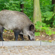 Stock Photo: Boar in forest