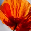 Single poppy flower in the sunlight — Stock Photo