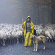Shepherd leads his sheep - Stock Photo