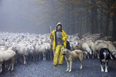 Shepherd leads his sheep — Stockfoto