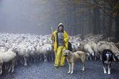 Shepherd leads his sheep — Stockfoto