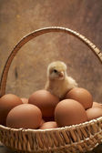 Young chicken in the basket with eggs — Stock Photo
