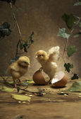 Two young chicken — Stock Photo